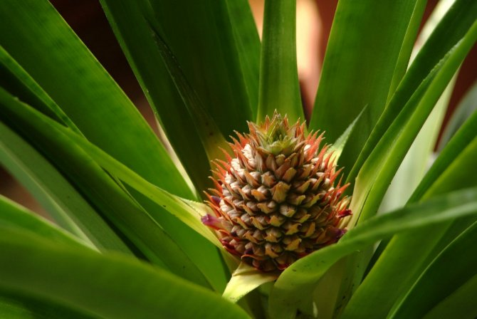 Back Rita's pineapples ..... 24 months : planting to harvest